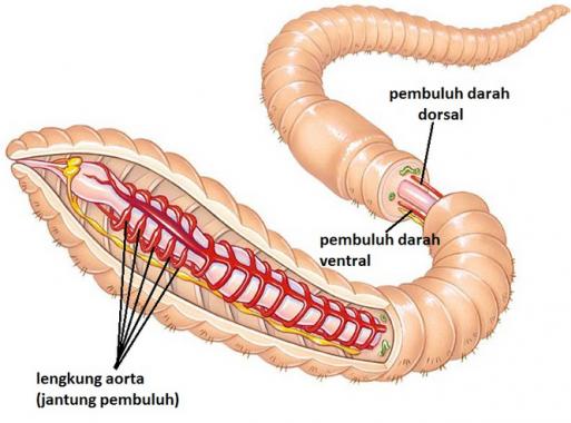 √ Annelida : Pengertian, Ciri, Klasifikasi dan Strukturnya Lengkap